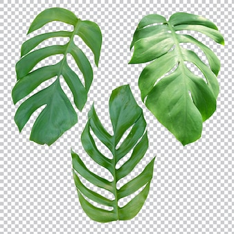 Tropical plant on transparent