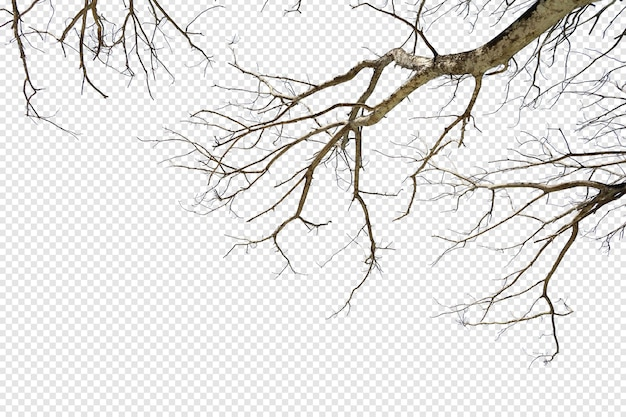 Tropical tree branch foreground isolated
