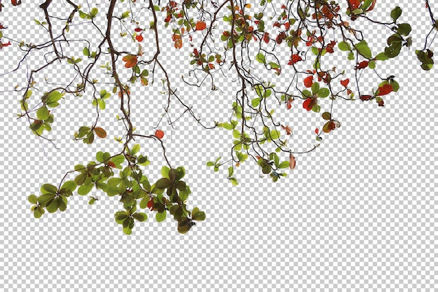 Tropical tree leaves and branch foreground isolated