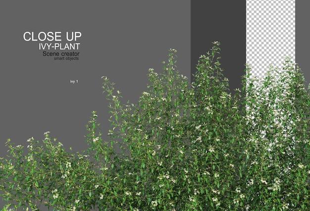 Various types of ivy closeup