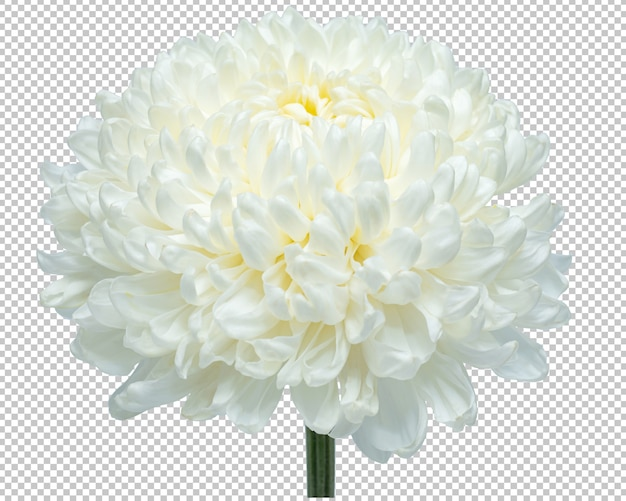 White chrysanthemum flowers on isolated transparency .floral .