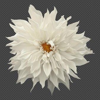 白いダリアの花の分離レンダリング