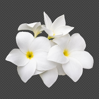 白いフランジパニの花の分離レンダリング