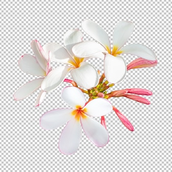 White-pink bouquet plumeria flowers on isolated transparency background.