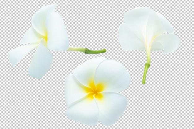 White-yellow plumeria flowers transparency .floral