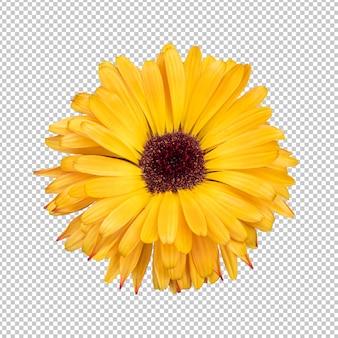 黄色のキンセンカの花の分離レンダリング