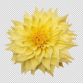 黄色いダリアの花の分離レンダリング