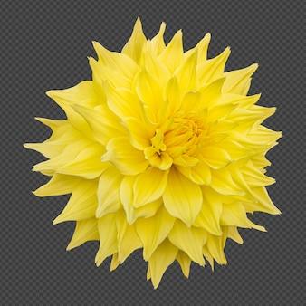 黄色のダリアの花の分離レンダリング