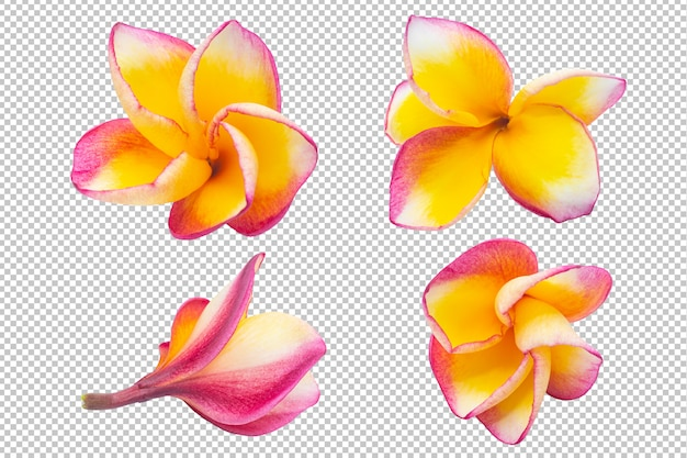 Yellow-pink plumeria flowers transparency .floral