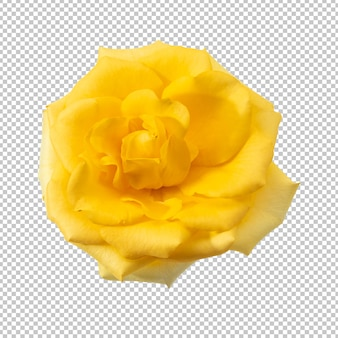Yellow rose flower isolated