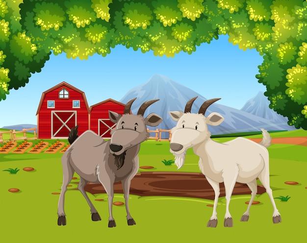 農場で2頭のヤギ