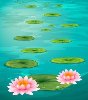 2つの蓮の花と水の葉