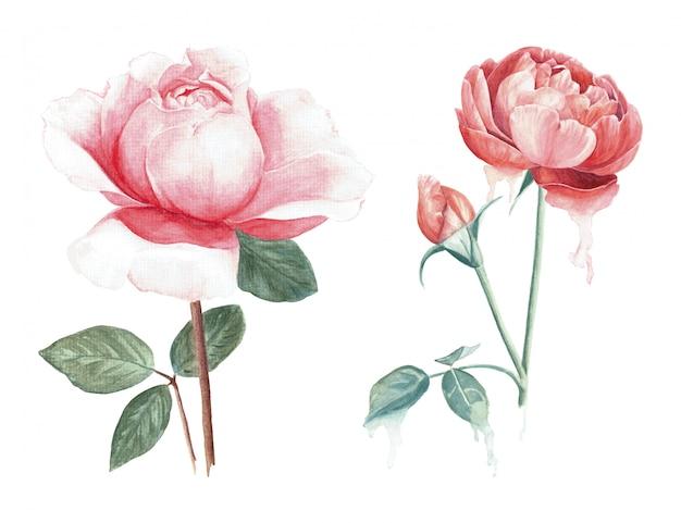 水彩で描かれた2つのピンクのバラブランチ手