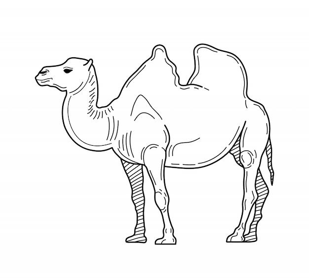 ラクダのクリップアートを概説します。 2つのこぶのあるラクダまたはフタコブラウスの手描きベクトルイラスト。動物園の動物。ベクトルイラスト。