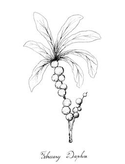 白い背景の上の2月のダフネフルーツの手描き