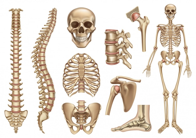 Структура человеческого скелета. череп, позвоночник, грудная клетка, таз, суставы. анатомия и медицина, 3d икона set