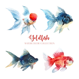 Коллекция акварелей 4 золотых рыбок.
