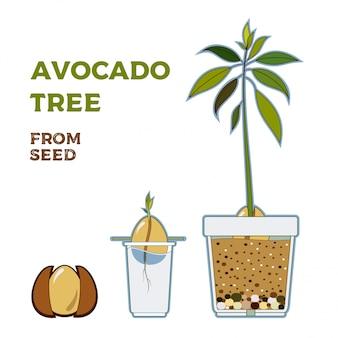 Авокадо дерево вектор растущих руководство. зеленая простая инструкция вырастить дерево авокадо из семян. жизненный цикл авокадо.