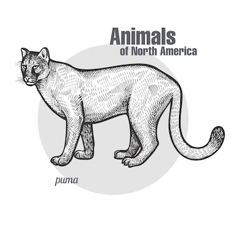 北米の動物プーマ。