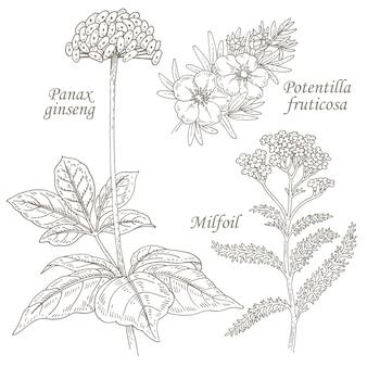 Иллюстрация лекарственных трав женьшеня, лапчатки, тысячелистника.