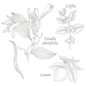 Иллюстрация ванили, кофе, лимона.