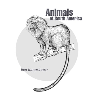 Животные южной америки лев тамарин.