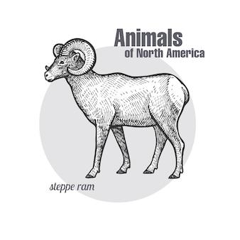 Степной баран. животные серии северная америка.