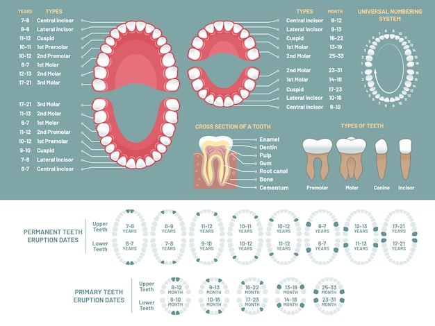 Диаграмма анатомии зубов