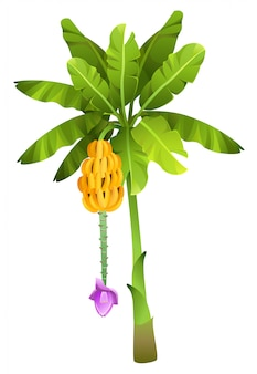 分離された果物と熱帯のジャングルバナナの木