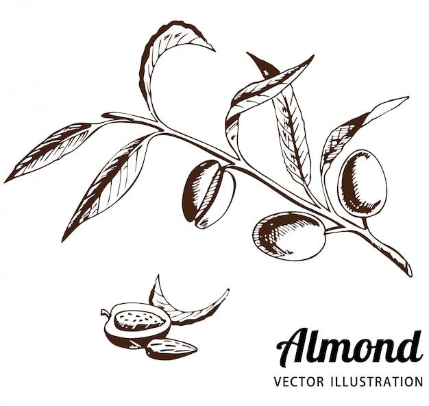 枝に果物とアーモンドの木。アーモンドの果実、アーモンドの穀物はベクトルスケッチです。