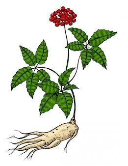 Корень и листья женьшеня. гравюра черная иллюстрация лекарственных растений для народной медицины. на белом фоне ручной обращается элемент. цветной рисунок.