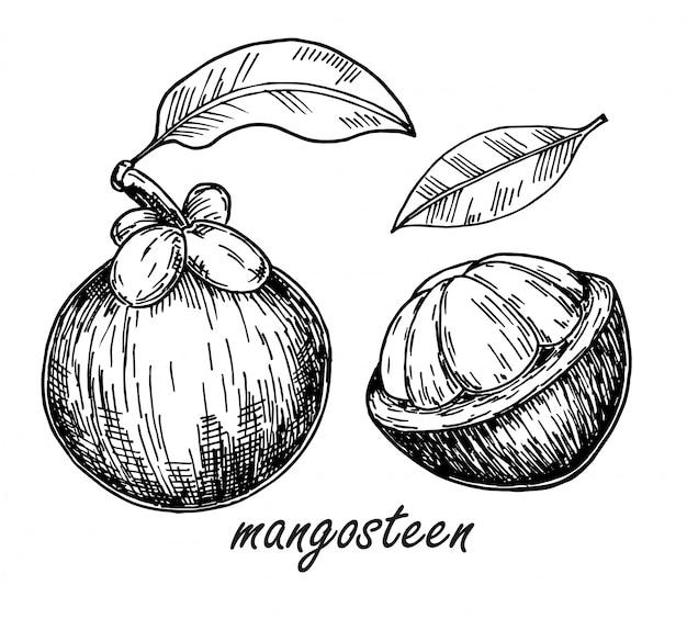 マンゴスチン果物のスケッチ。手描きのトロピカルフルーツのイラスト。エキゾチックなトロピカルパープルマンゴスチン全体と皮をむいた。植物のヴィンテージのスケッチ