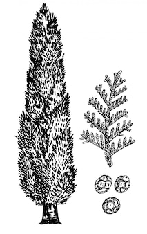 糸杉の手描きイラスト。ヒノキ、ヒノキの葉と種子。ビンテージスケッチスタイル。