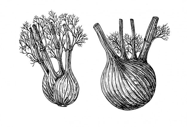 ウイキョウ。手描きのグラフィックイラスト。インクフェンネルハーブイラスト。手描きの植物スケッチスタイル。