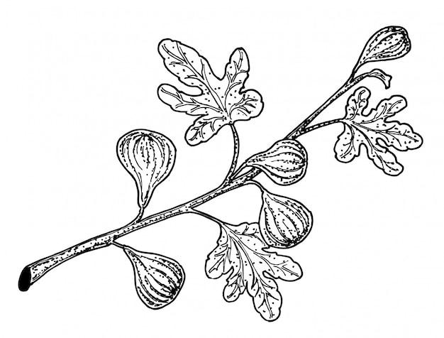 イチジクの枝のベクトル描画。詳細なビンテージ植物スケッチ
