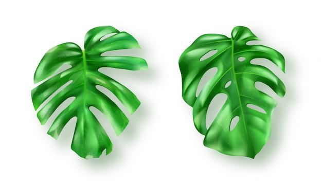 白の熱帯の緑のモンステラの葉