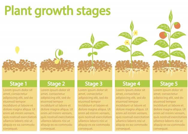 インフォグラフィックを育てる植物。植物の成長プロセス。植物の成長段階。