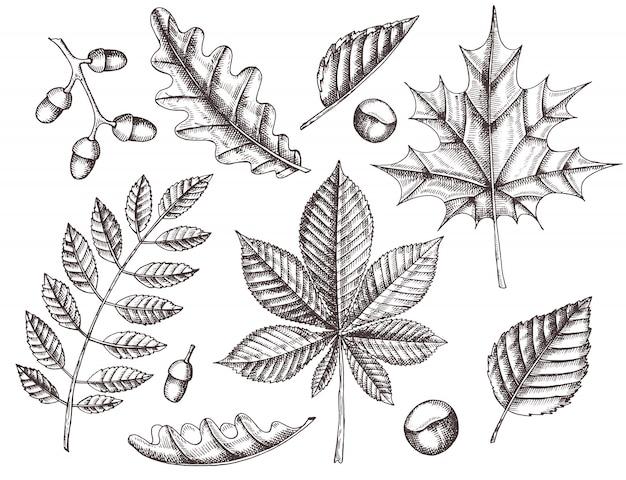 秋の紅葉のセットです。カエデ、シラカバ、栗、ドングリ、トネリコ、オークの描かれた葉を手します。スケッチ。ビンテージ