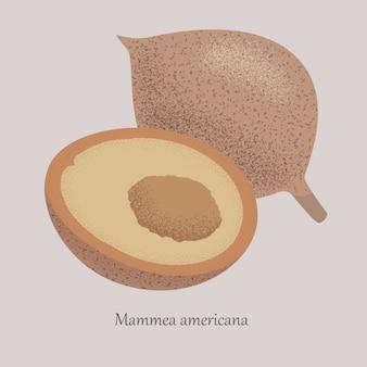 マンメアメリカーナ、アメリカアプリコットの甘いトロピカルフルーツ全体と半分。