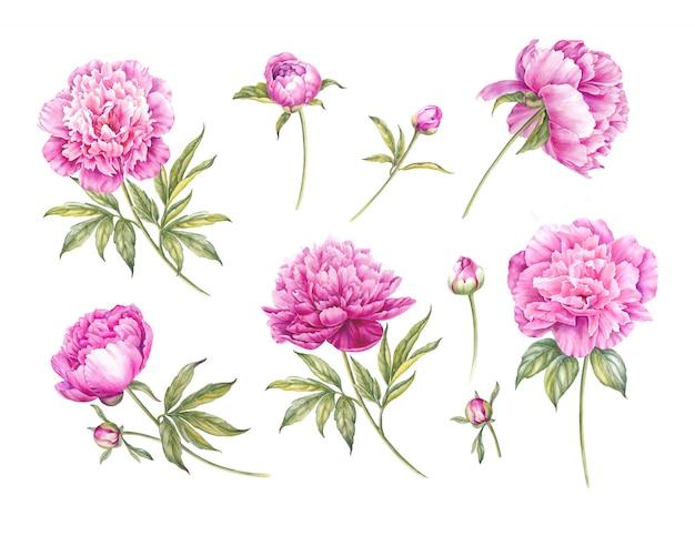 水彩のピンクの牡丹のセット。