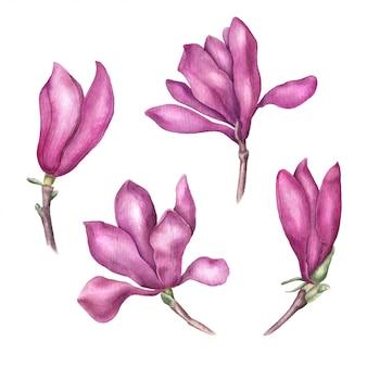 繊細なピンクのマグノリアの花、白い背景で隔離のベクトル水彩イラストのセット