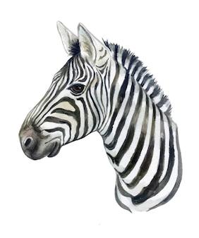 分離されたシマウマの馬の肖像画。水彩