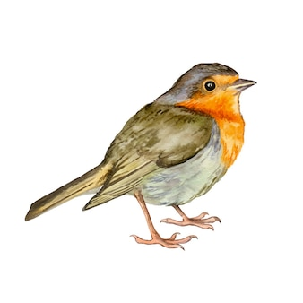 水彩鳥ロビン手描き