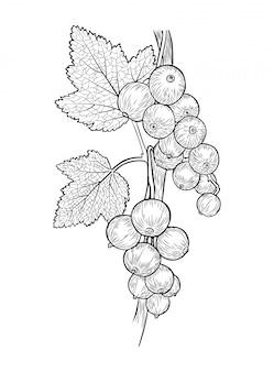 スグリの果実と枝の葉