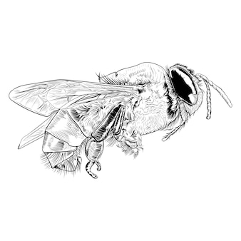 Векторная иллюстрация гравюра медоносной пчелы на белом фоне
