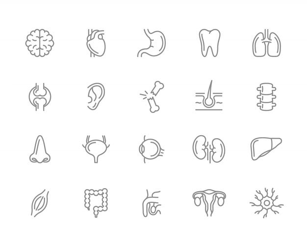 人間の臓器線アイコンのセット。ニューロン、陰茎、子宮、腸など。