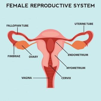 女性の生殖システム表現