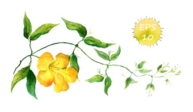 黄色のヒルガオの枝。水彩ベクトル