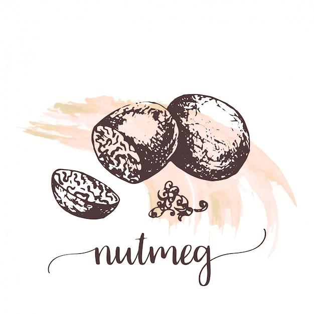 ナツメグナッツ種子スケッチ