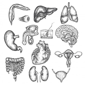 人間の臓器、臓器、皮膚、目の手描きイラスト。ベクタースケッチ分離イラスト。解剖学セット。医療写真。